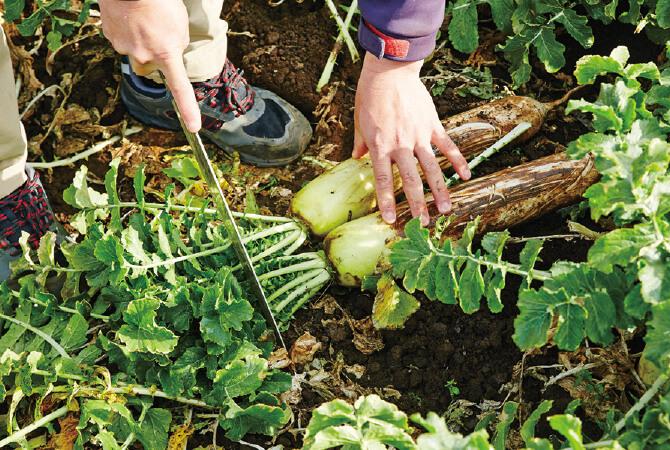 抜いて泥を葉で拭い、葉の切り落としまで全て手作業