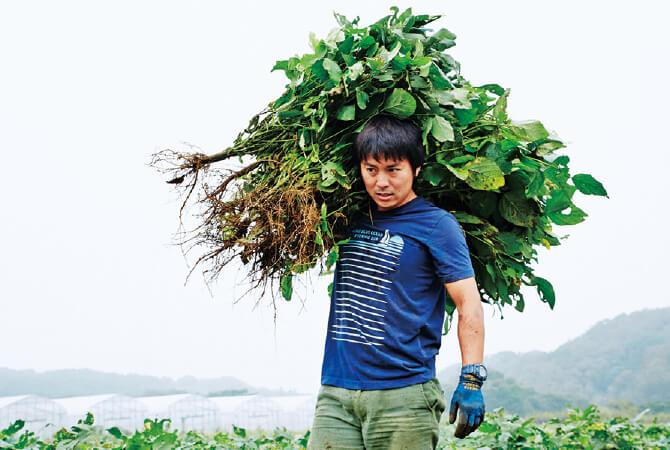 「小糸在来」の収穫風景