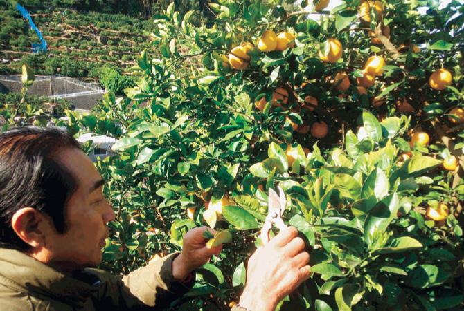 河内晩柑は樹上で熟してから収穫するため、早めに剪定・枝を整えて栽培します。