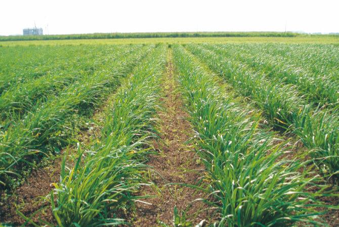 堆肥と米ぬかで作ったぼかし肥料を利用した、こだわりの有機栽培を行うニラ畑。