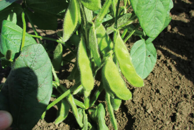 除草を行わず、雑草を枝豆の背丈と同じくらいまで伸ばして共存させ、育てている『うま味ふっくら枝豆』