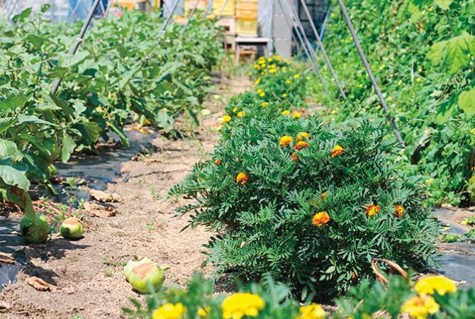 なす畑には、病害虫防止の共栄作物「コンパニオンプランツ」を。