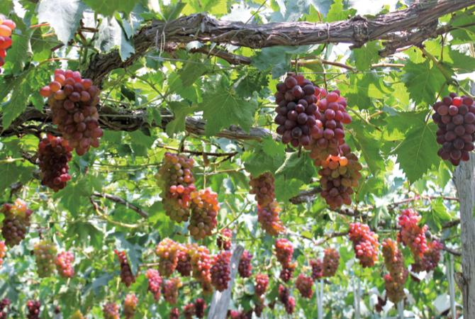 デラウェアは薬を使わず、樹上で完熟させて収穫。