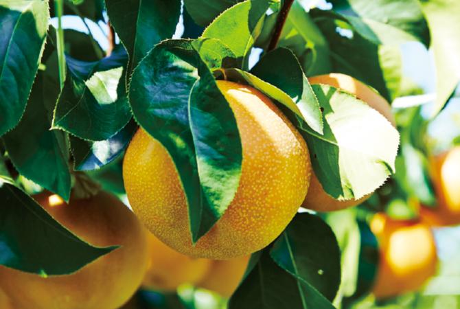 樹上でじっくり完熟させて、甘みをたくさん蓄えた幸水。