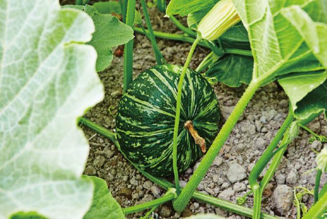 つるや葉を間引いてしっかりと果に栄養を届けている佐久ゆうき会のかぼちゃ。
