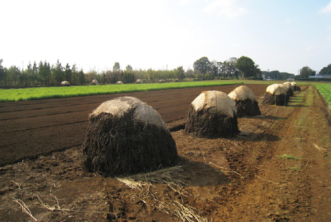 「ぼっち積み」と呼ばれる方法で、畑でゆっくり天日乾燥させます。