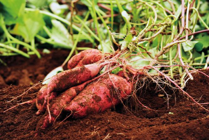 行方市の火山灰土壌はさつまいもの栽培に適した赤土。緑肥を加えた土で栽培。病虫害のリスクが高くても農薬は不使用。
