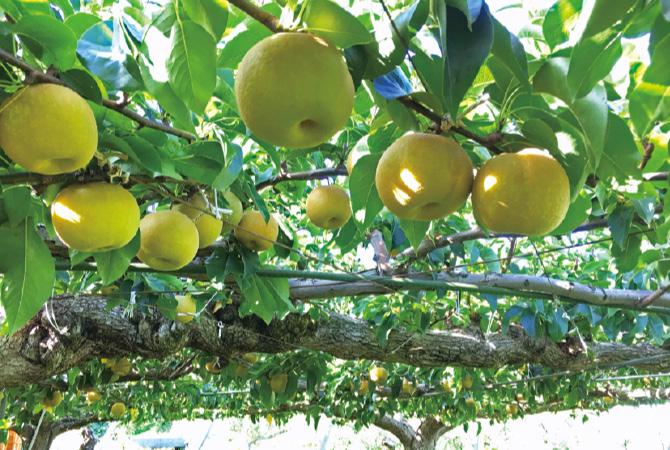 長野県生まれの赤梨・南水は、酸味がほとんどなく、甘い果汁がぎっしり。適熟での収穫にこだわっています。