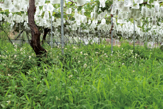 おいしいぶどうのできる秘訣は、この園内のふかふかの土。
