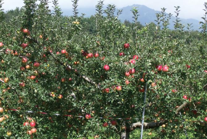 日に日に赤く染まっていく収穫間際のりんご。お尻の色が変わり、形が充実してきたら収穫します。