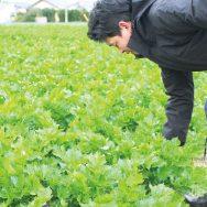 畑の作り手通信:「グリーンセロリ」の旬がやってきました!