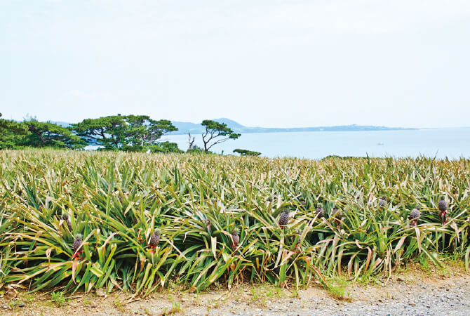 父の代から続く大切なパイナップルの畑。石垣島は暑く栽培は大変です。