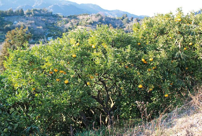海岸線にほど近い山の傾斜地にある畑。樹上で完熟になるのを待って収穫しています。