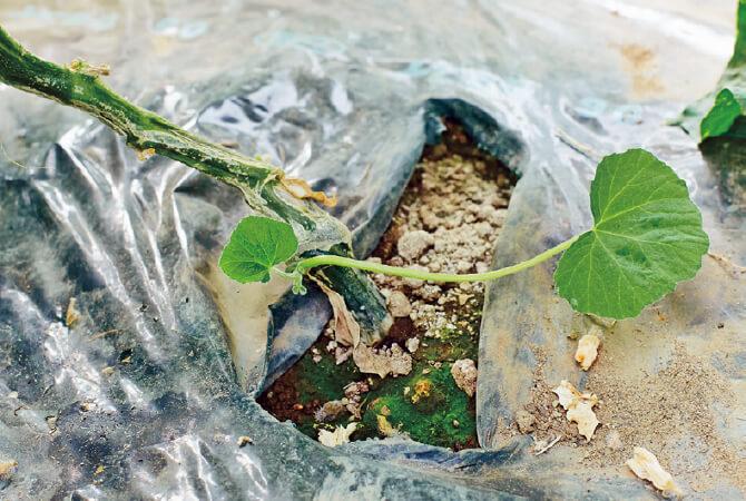 かぼちゃの根を利用し、きゅうりを栽培しています。