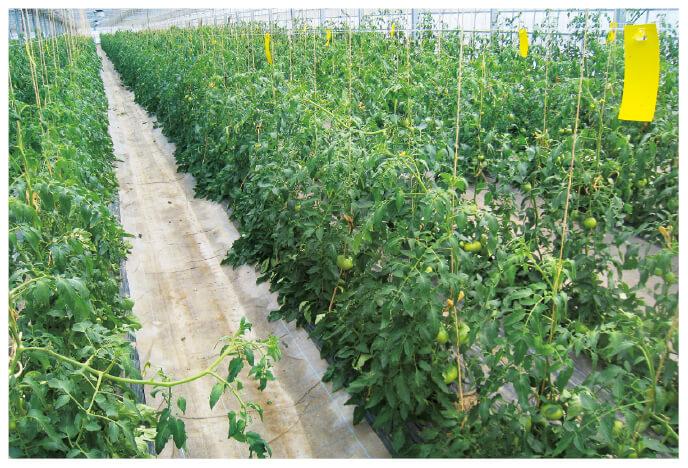 一段、二段と結実して、高さを増しながら栽培しています。