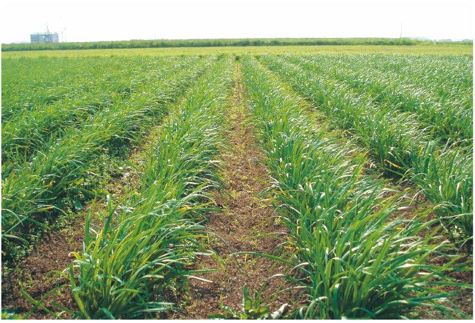 堆肥と米ぬかを使った土のニラ畑