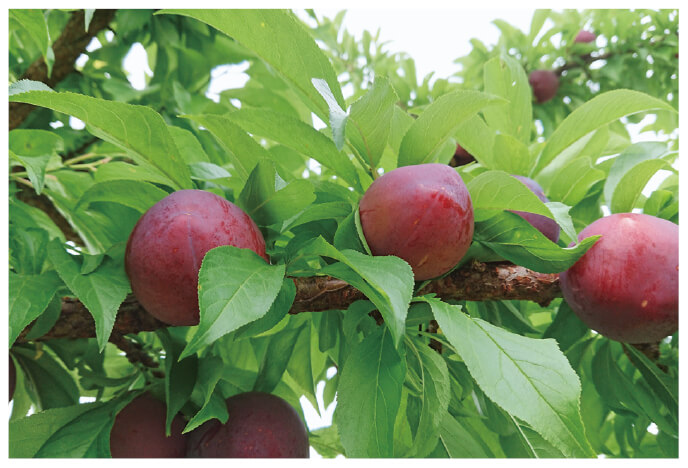 今年もたわわに実ったプラム。樹上で熟したものを見極めて収穫しています。