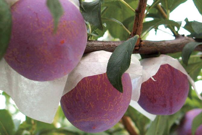 樹上で完熟を見極めて収穫するプラム(貴陽)