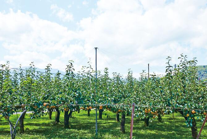 樹上でじっくり完熟させて、甘みをたくさん蓄えさせる、幸水の畑。
