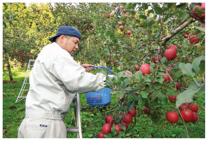 つがる(早生りんご)の収穫