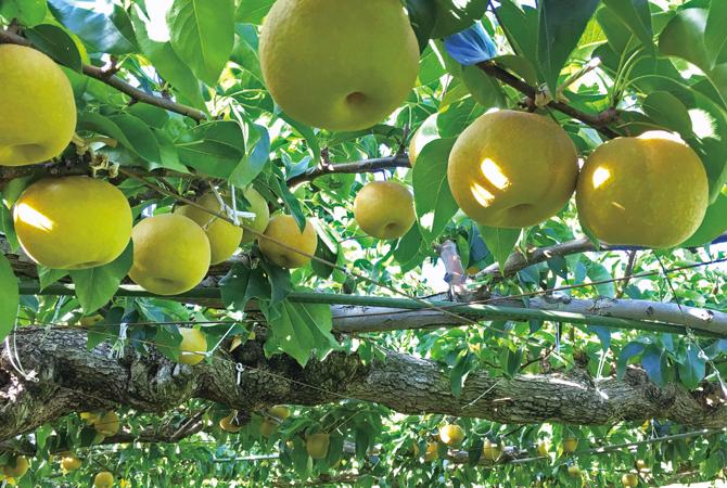 色味を見極めて収穫する、甘さしたたる南水(梨)