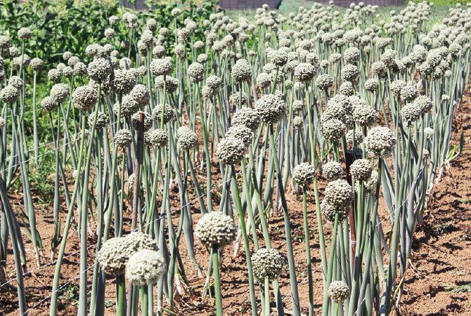 種採り用に栽培している「札幌黄」