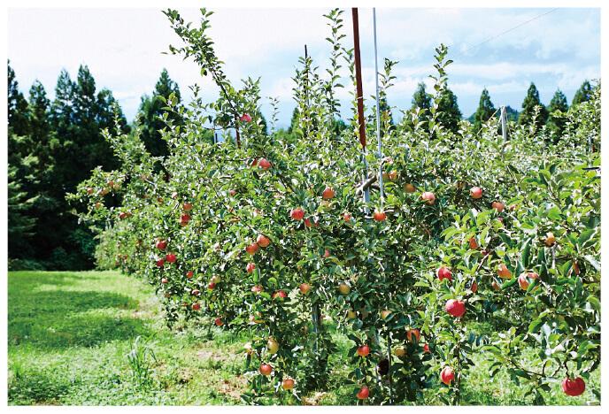 先代が終戦後に植えたりんご畑