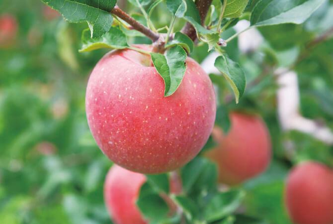 枝に葉を残すことで光合成を促し、甘いりんごを育てています