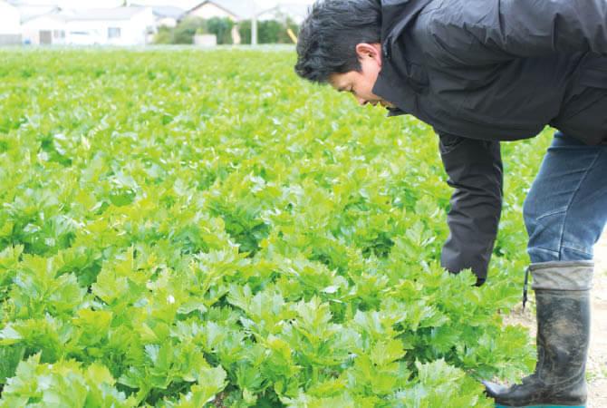 天恵グループのグリーンセロリ畑