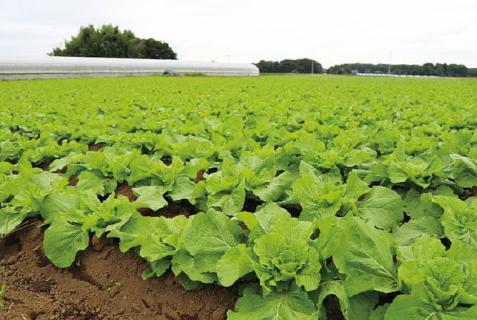 自家製堆肥で育てている、ぎゅっと凝縮甘み白菜畑