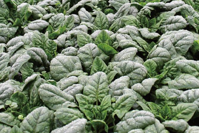 秋に種をまいてから収穫まで、露地栽培されている寒ちぢみほうれんそう畑