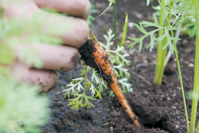 草取りはじいさんの代から手作業で行っている人参畑