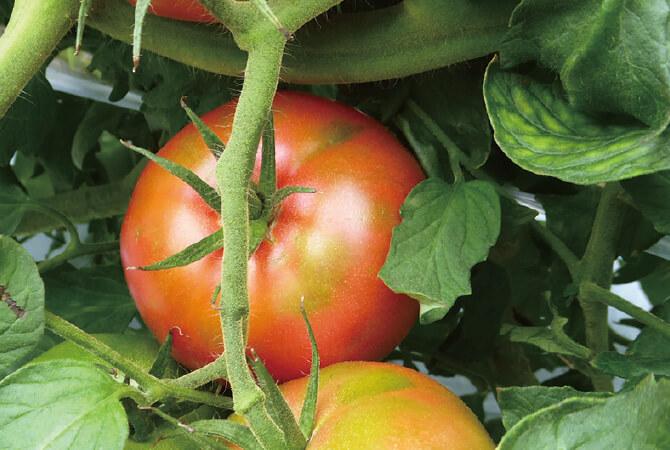 暑い時期から苗をハウスに定植させ、じっくり時間をかけて育てた「麗旬」という品種のトマト