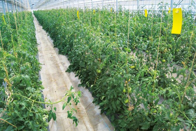 実り始めのトマト畑。高さを増しながら栽培しています。
