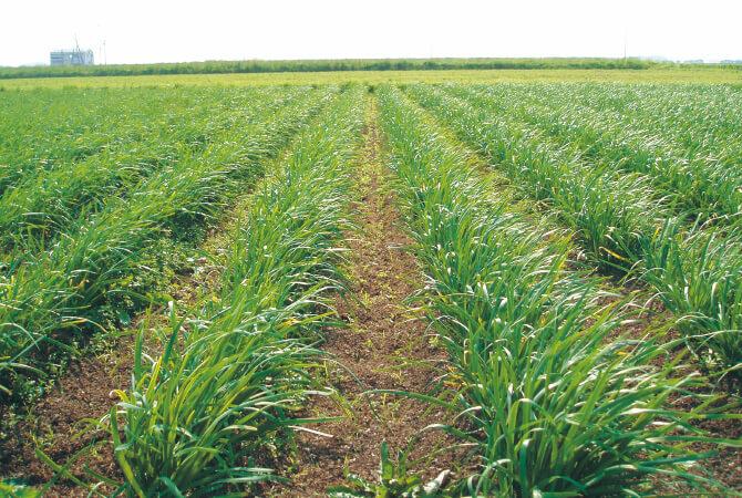 堆肥と米ぬかの「ぼかし肥料」を与えた元気な土で育てているニラ畑