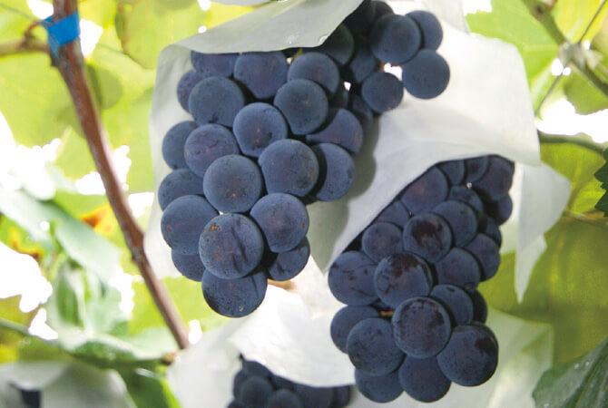 ワインの搾りかすなどを原料にした堆肥を使用(写真はピオーネ畑)
